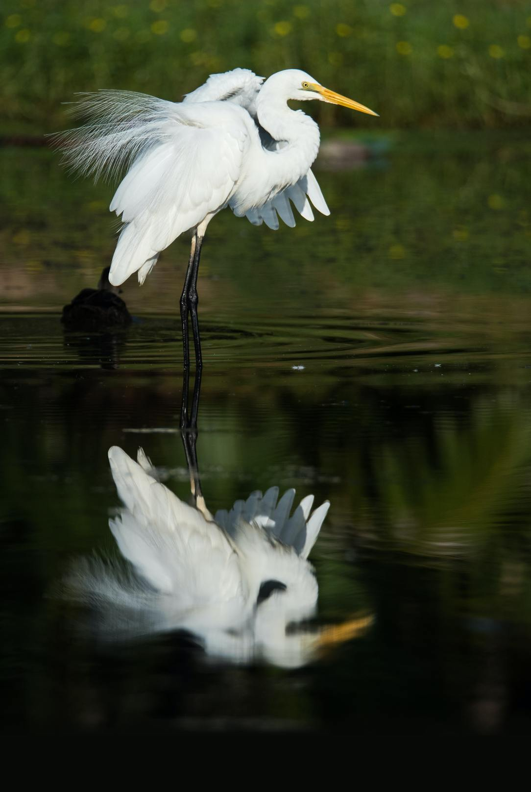 Photo of an egret and its reflection.